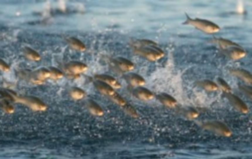 harina de pescado